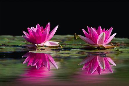 water-lilies-481984__480.jpg