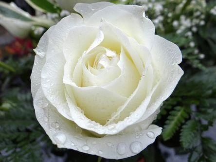 white-rose-2907862__480.jpg